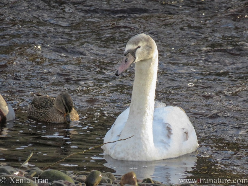 a maturing cygnet with pink bill on the river with a female mallard duck