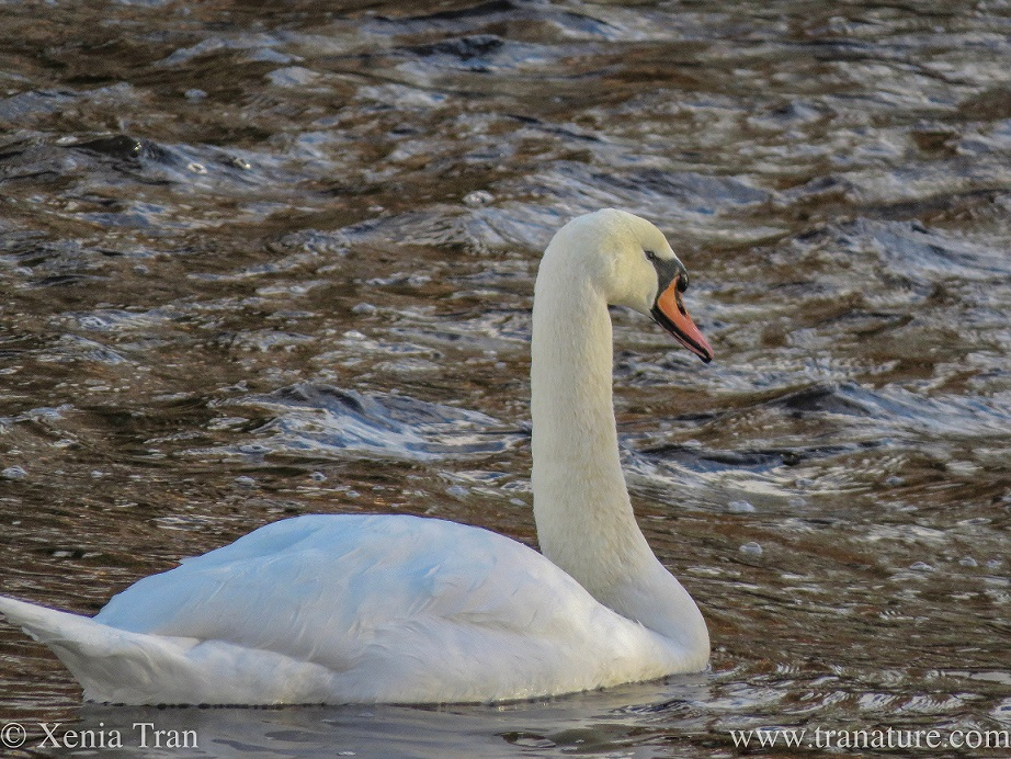 a pen (female swan) swimming in the river in evening light