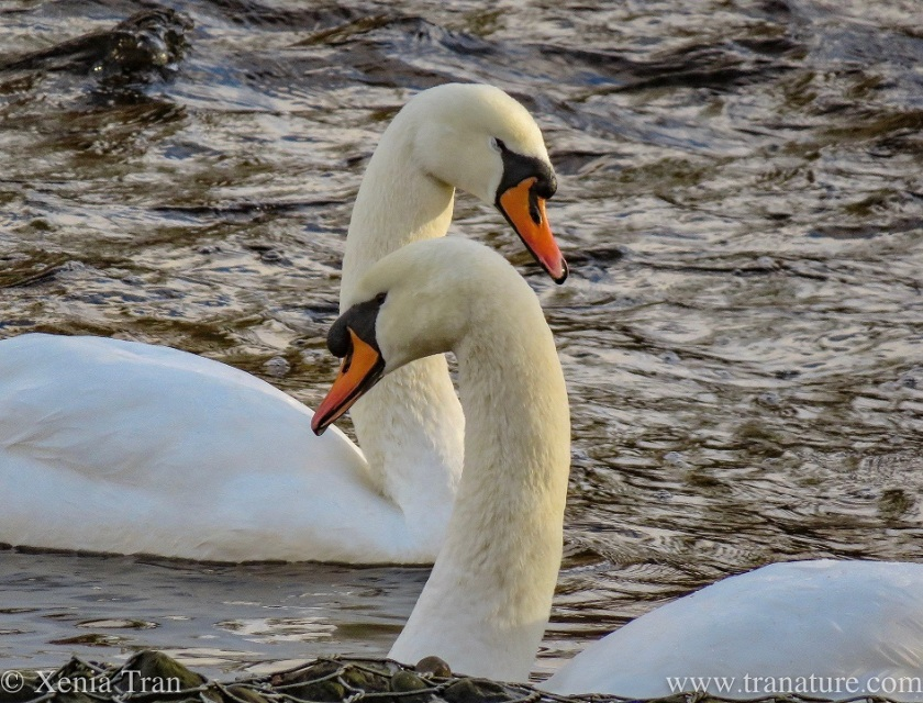 swan parents swimming closely past each other on the river
