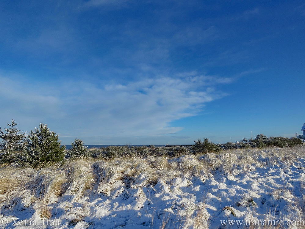 snow covered bent grass, gorse and dunes overlooking the Moray Firth