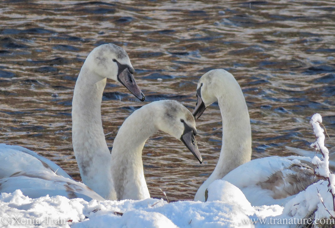 close up shot of three fully grown cygnets by a snow-covered river bank