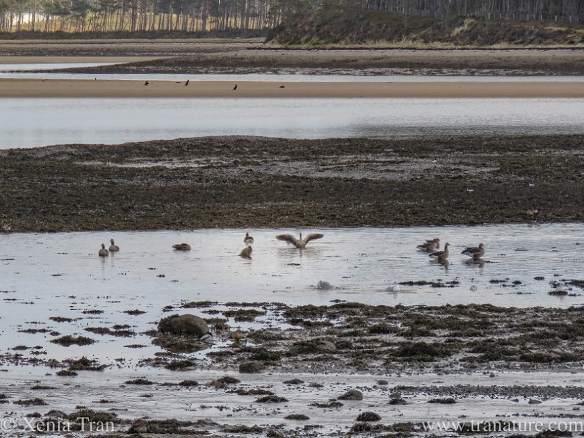 greylag geese and seagulls in the estuary at low tide