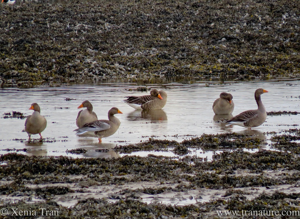 greylag geese bathing and preening at low tide
