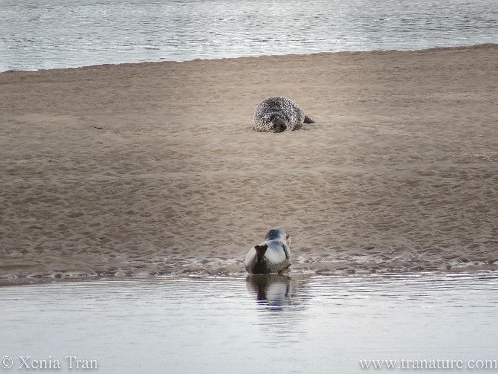 a grey seal on the edge of a sandbar, tail fin in the air, and another grey seal snoozing