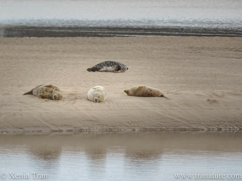 four snoozing harbour seals on a sandbar