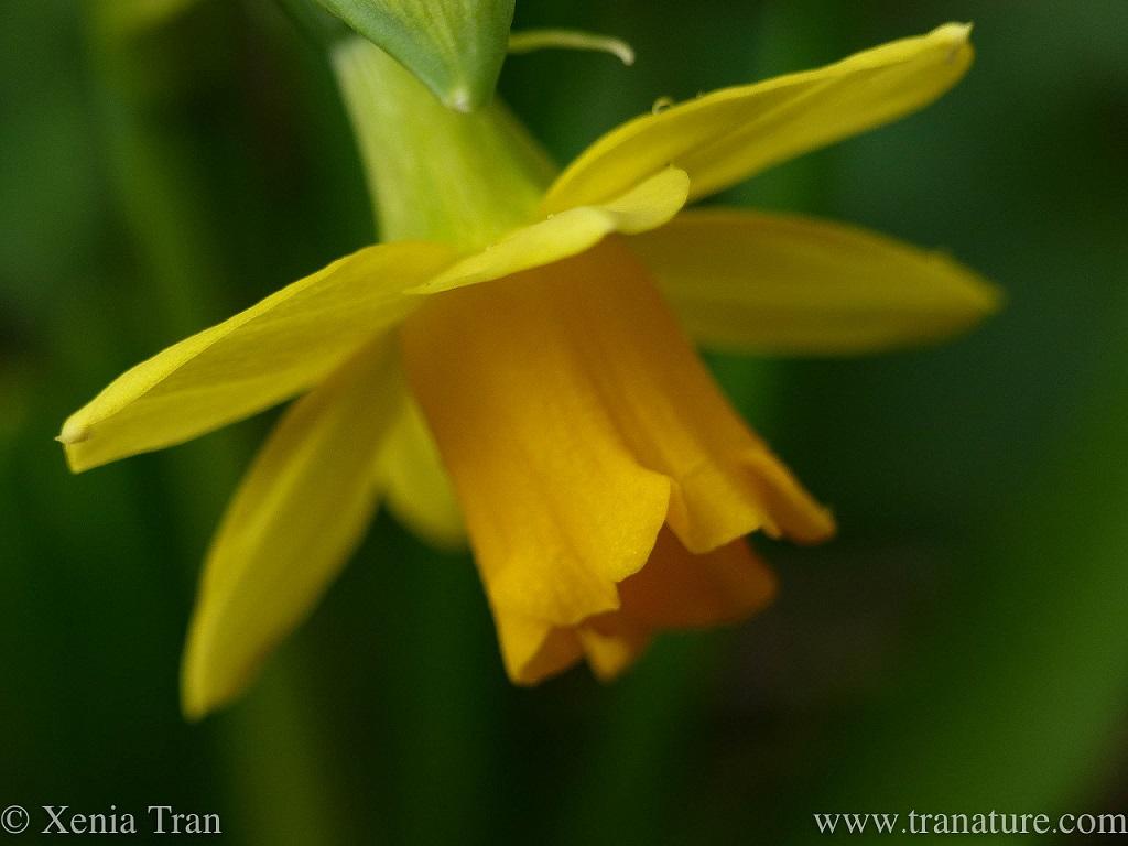 macro shot of a two-tone daffodil flower head