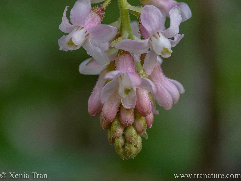 macro shot of white icicle flowering currant, partially blossoming