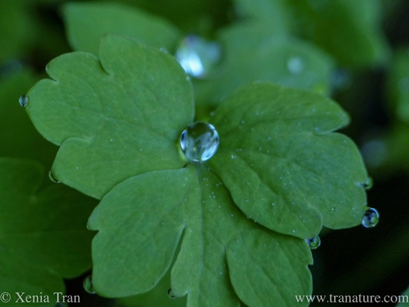 macro shot of rain drops around green poppy leaves