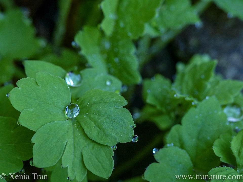 macro shot of rain drops around green poppy leaves