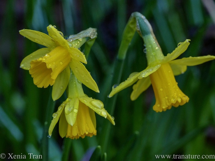 three daffodils with rain drops