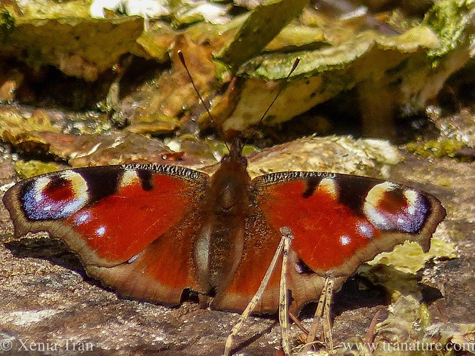 macro shot of a peacock butterfly with wings fully open on a tree stump