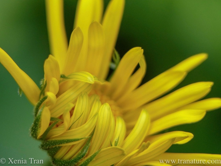 macro shot of a yellow Doronicum Little Leo bud with unfurling petals