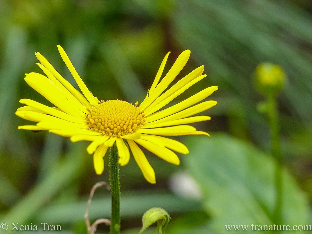 macro shot of a yellow Doronicum Little Leo in full bloom