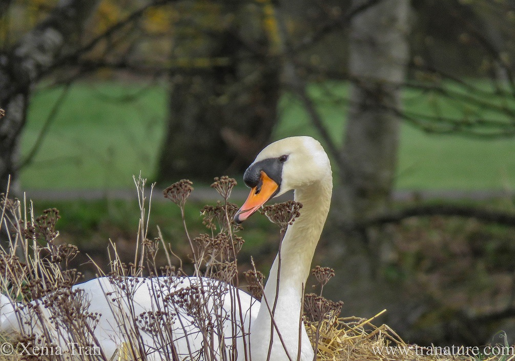 close up shot of a male swan on a nest turning his left side towards me and giving a kind eye to the camera