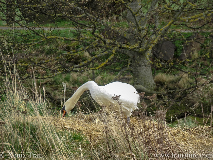 a male swan tidying the nest with trees in the background