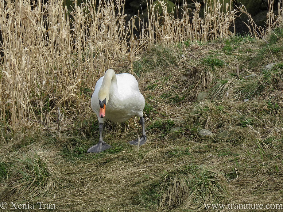 a male swan shuffles down a grassy crest, looking at the ground and ahead