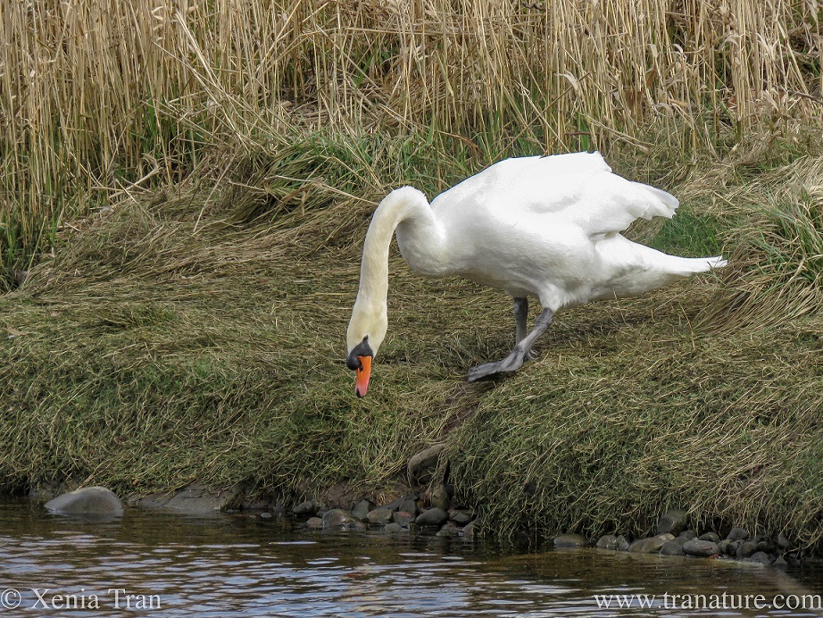 a male swan approaching the edge of the riverbank and looking at the water below