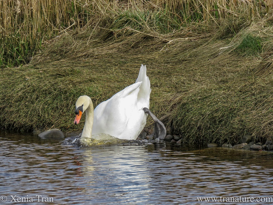 a male swan landing in the water, chest first, from a grassy island