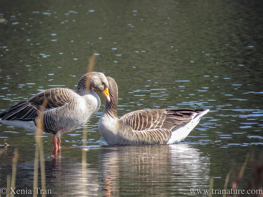 a pair of greylag geese bonding on the water
