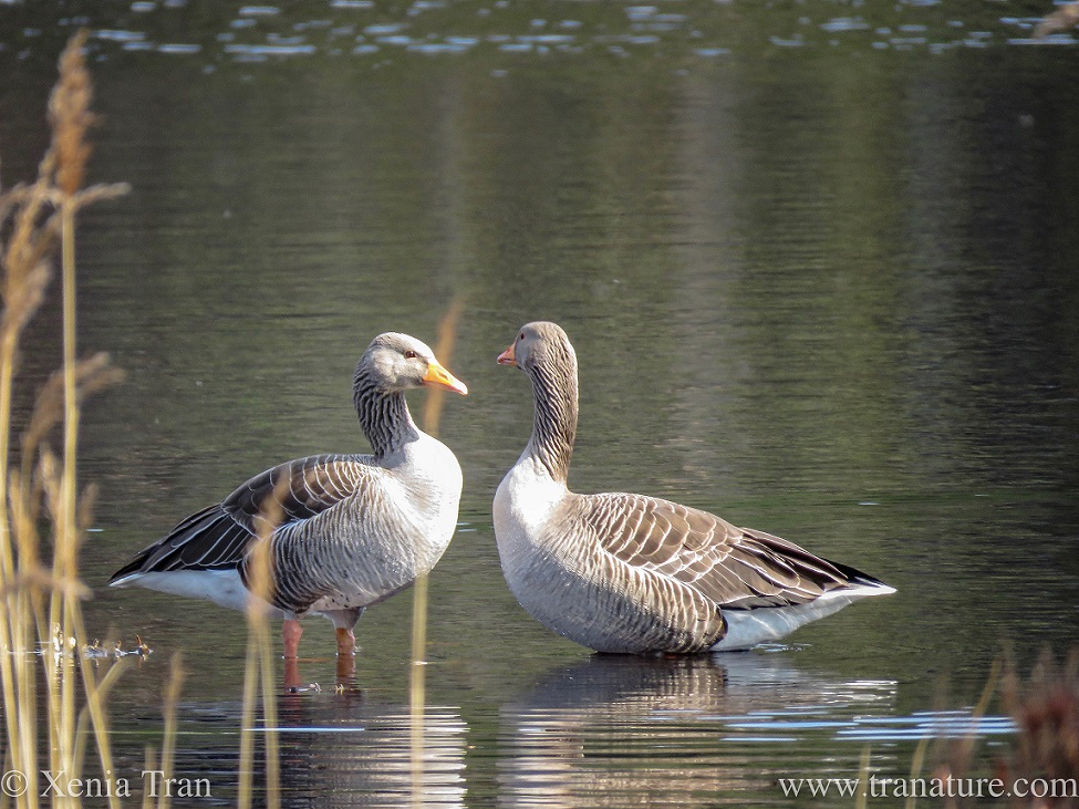 a pair of greylag geese bonding in shallow water beside reeds