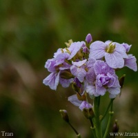 Wordless Wednesday: Cuckoo Flower