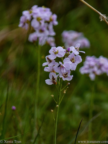 close up shot of Cuckoo Flowers with blurred flowers in the bokeh