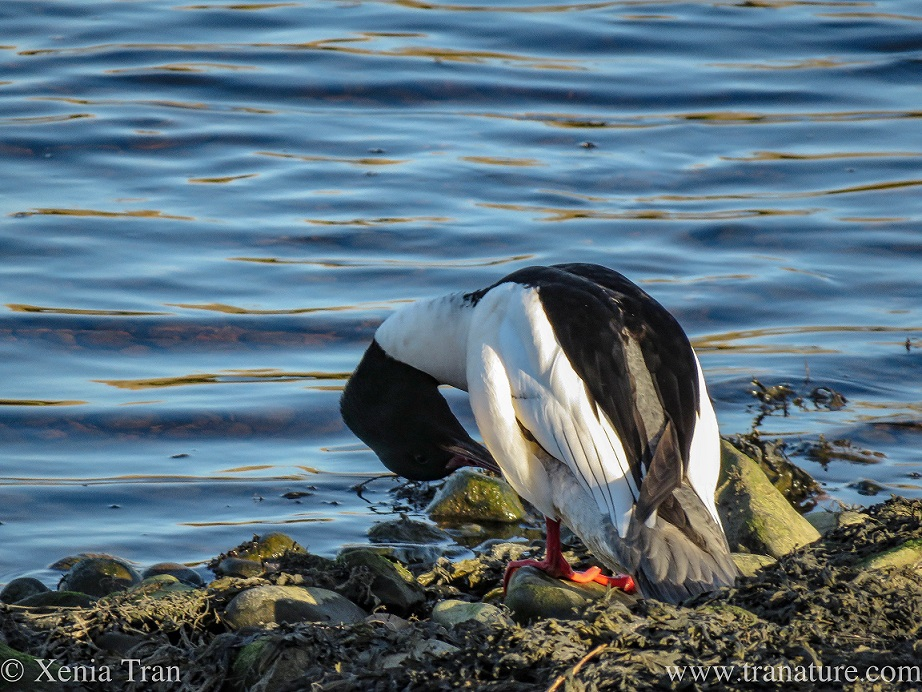 a male merganser preening himself on the edge of the river