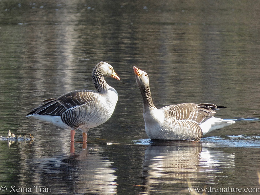 two greylag geese on a lochan, the male trying to impress the female