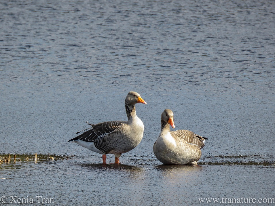 a pair of greylag geese in the shallows of a loch