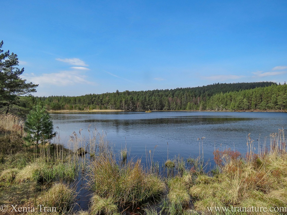 a wider view of the loch surrounded by pine trees