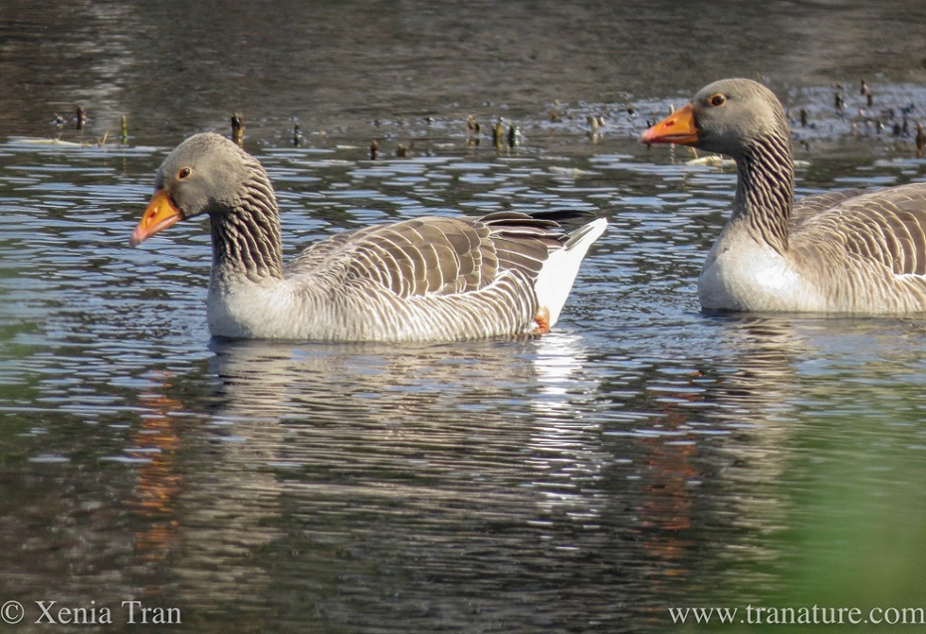 close up shot of a pair of greylag geese swimming across the loch