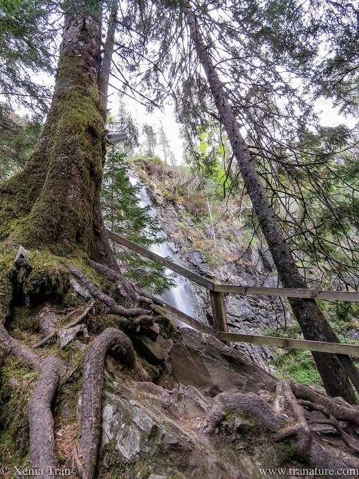 a douglas fir tree see from below with exposed roots by a waterfall
