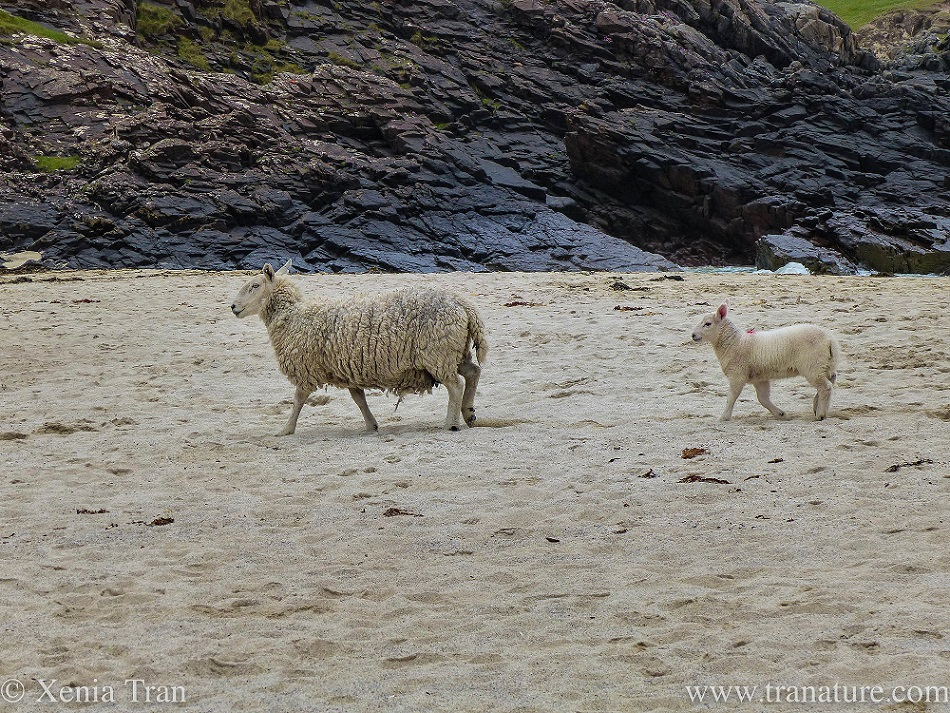 a lamb following his mother across the beach towards the rocks and cliffs