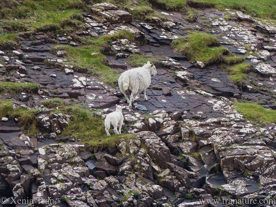 a lamb climbing the rocks behind his mother