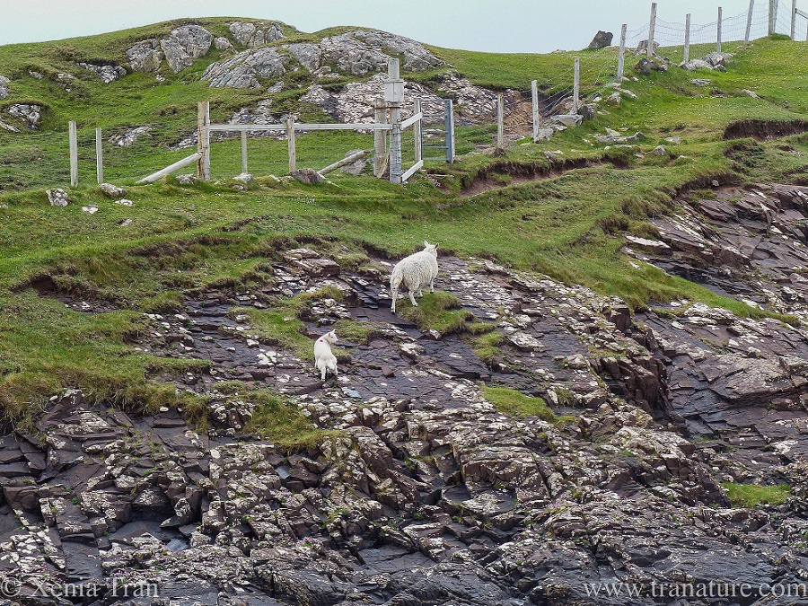a lamb climbing the rocks behind his mother and looking over his right shoulder back to the ocean