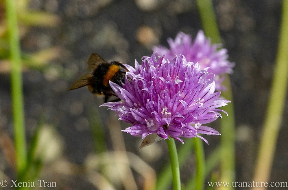 macro shot of a chive blossom newly flowered with a bumble bee feeding
