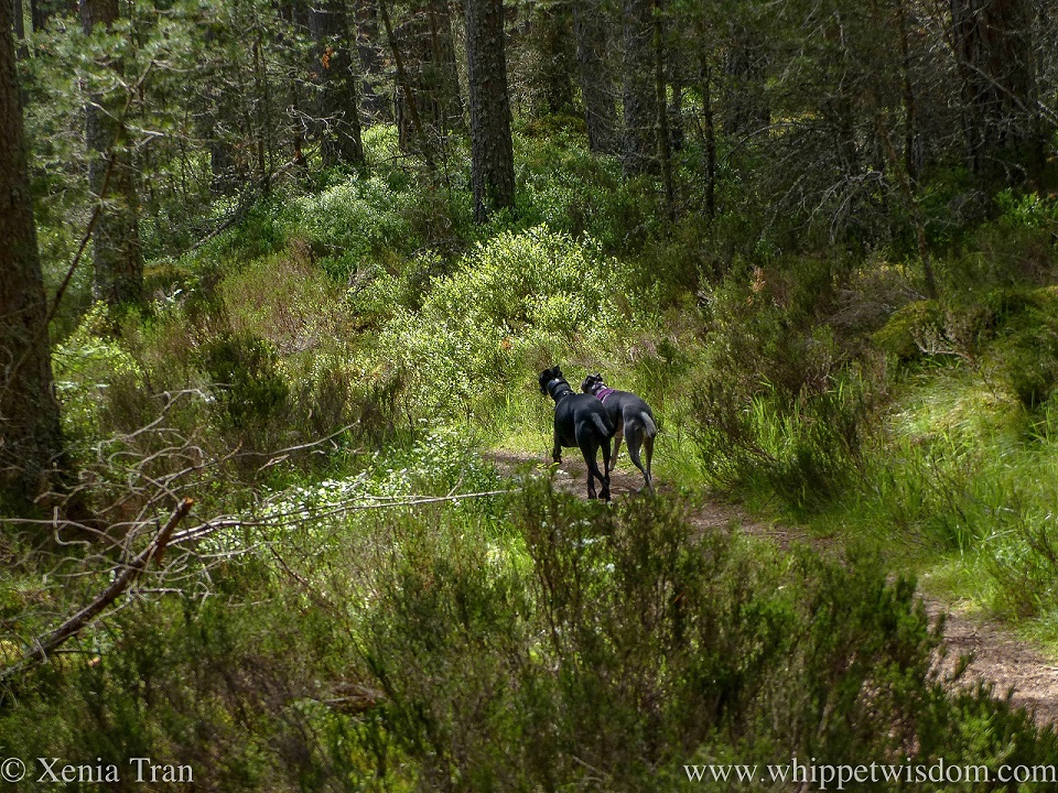 two whippets running side by side along a forest trail in summer