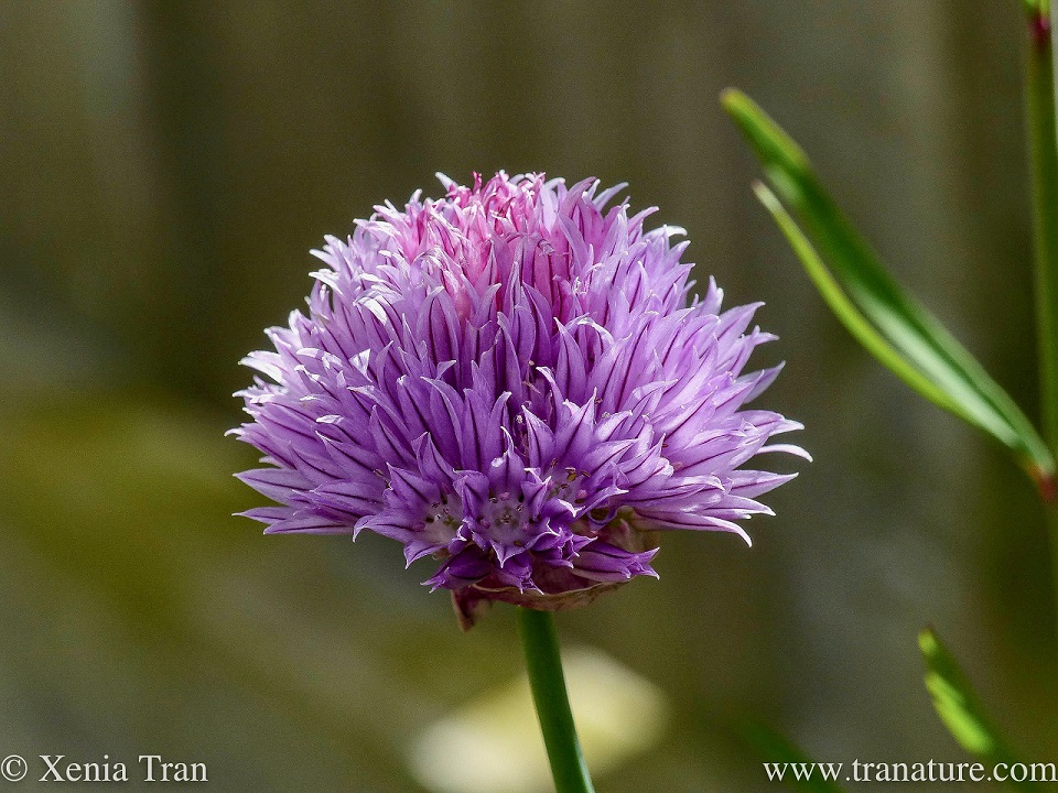 macro shot of a mature chive blossom in dappled evening light