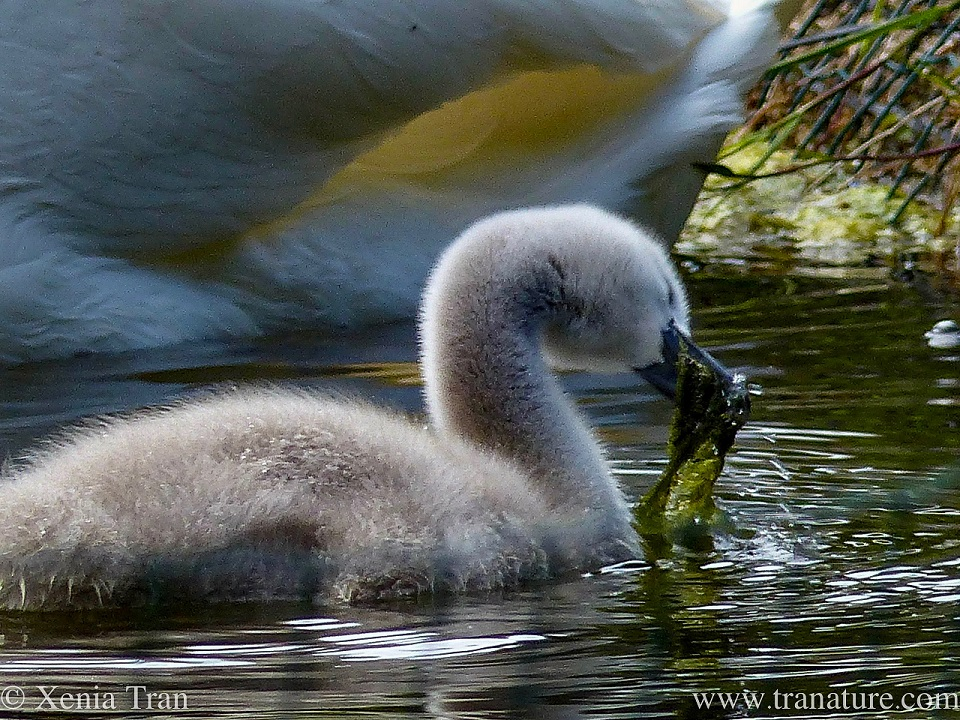 a three week old cygnet pulling up an underwater plant with his beak
