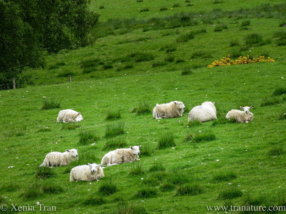 seven sheep relaxing on a grassy hillside with gorse blooming