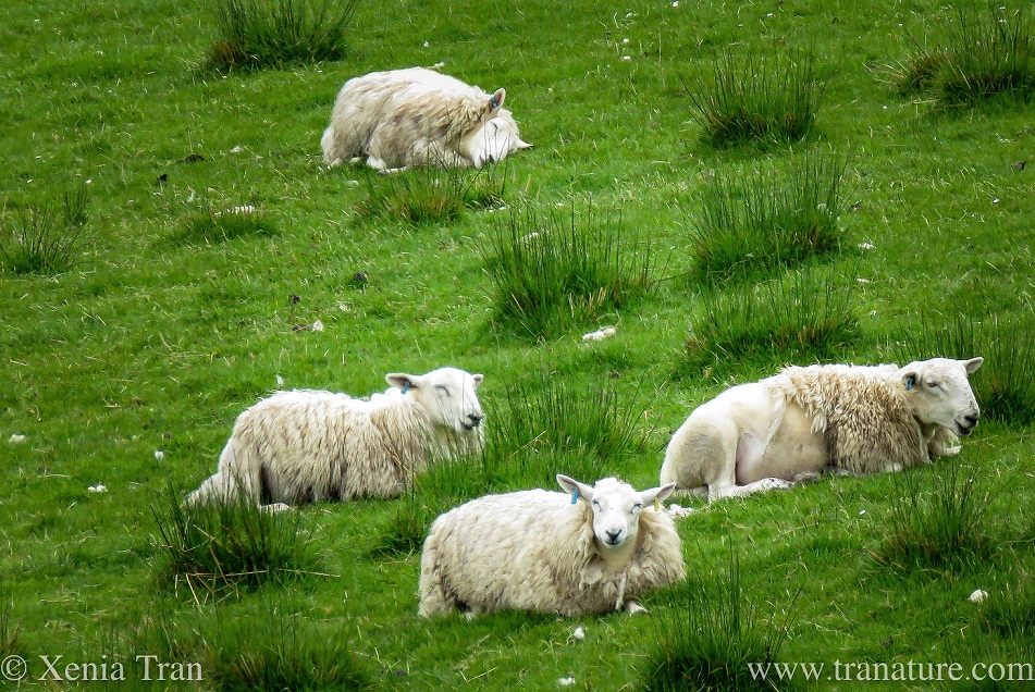 four sheep relaxing on a grassy hillside, one is sleeping