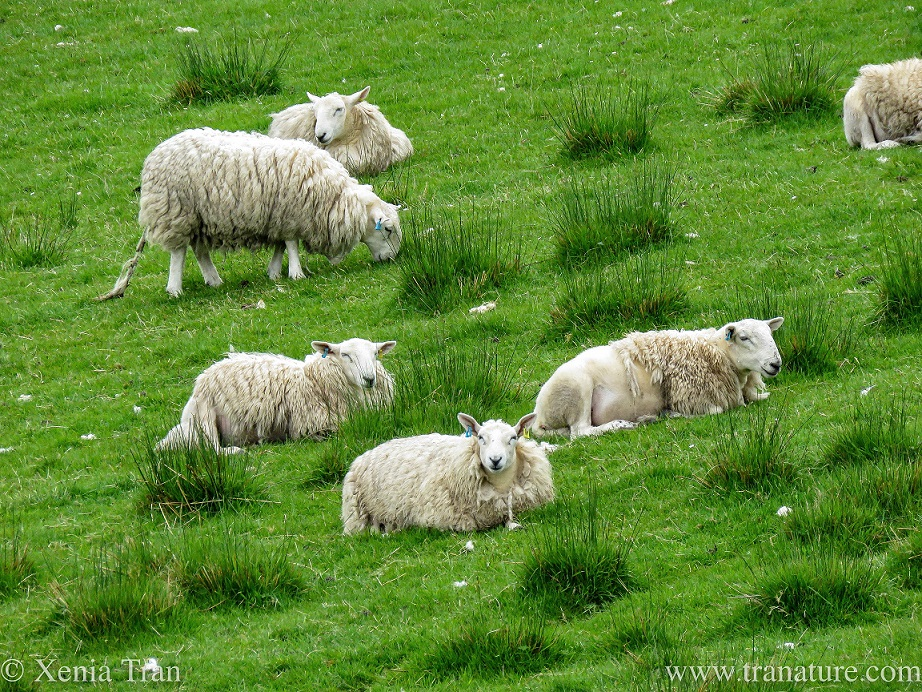 one grazing sheep and five sheep relaxing in the grass