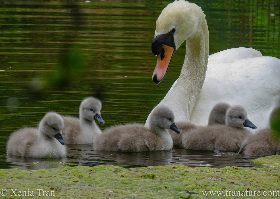 a pen watching over six of her cygnets in a pond