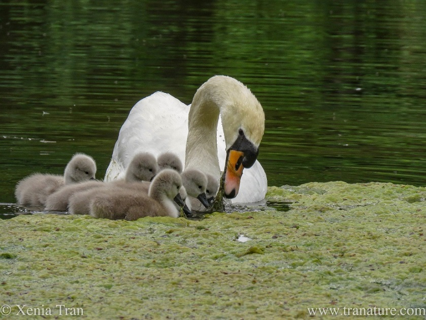 a pen feeding six of her cygnets with underwater plants in a pond