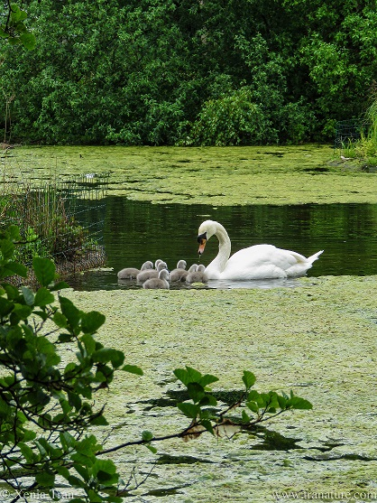 a pen and seven cygnets feeding in a pond