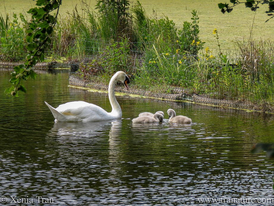 a pen watching over three cygnets feeding beside her in a pond
