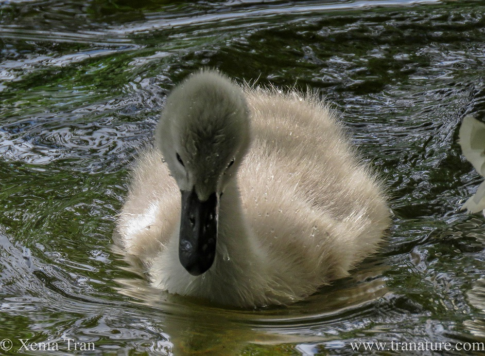 a three week old cygnet with water droplets on her beak and crown and downy feathers