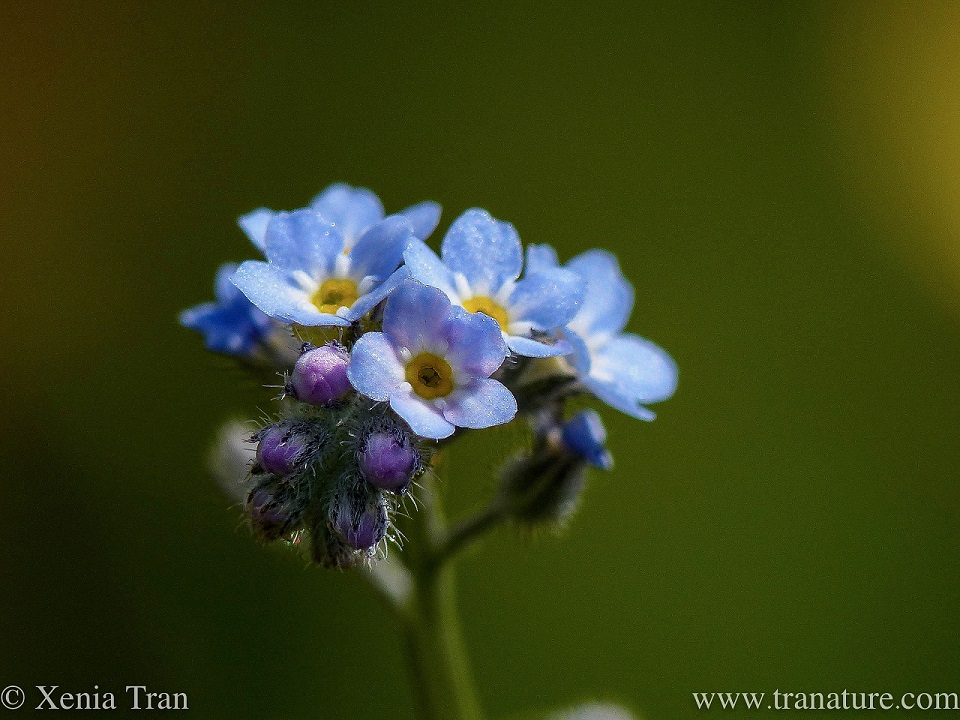 close up shot of forget-me-not flowers with a green bokeh
