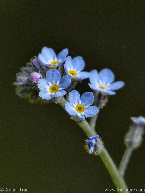 close up shot of forget-me-not flowers