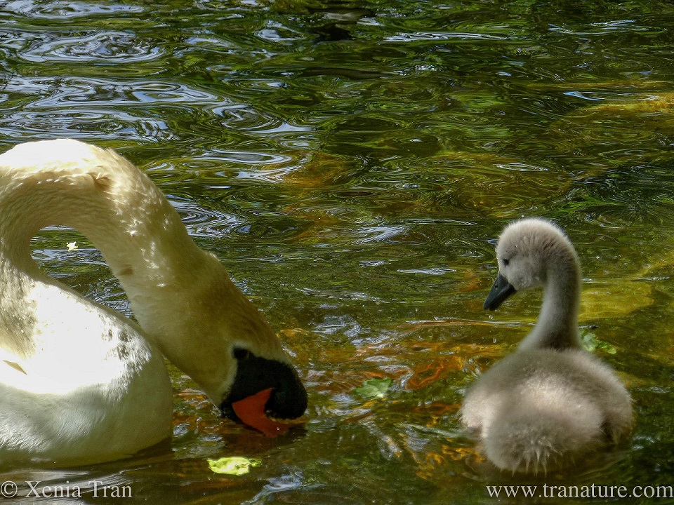 a mother swan feeding in the water with a downy cygnet looking on